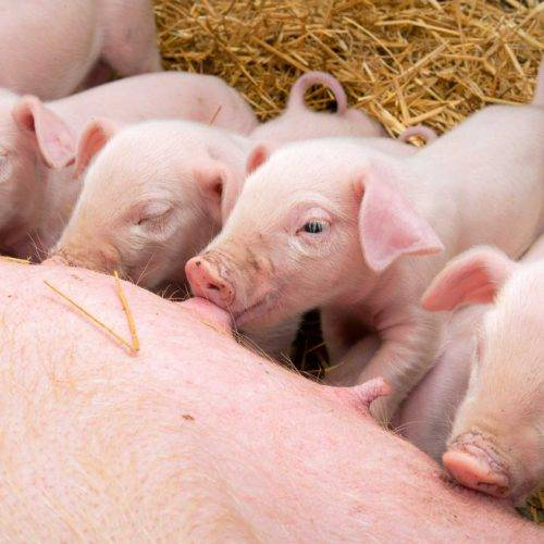 Genética porcina