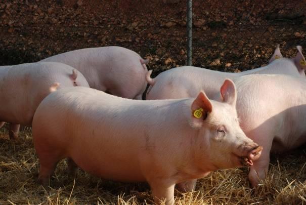 Testage cerdos Testatge porcs - Gepork