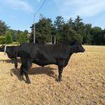 Toro Aberdeen Angus